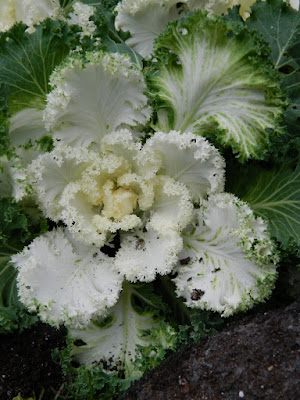 Allan Gardens Conservatory 2017 Christmas Flower Show white ornamental cabbage kale by garden muses-not another Toronto gardening blog
