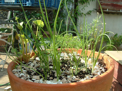 Close up of a terracotta pot growing young spring onions and dill