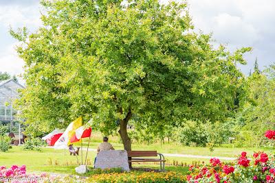 Powsin ogród botaniczny PAN dąb papieski