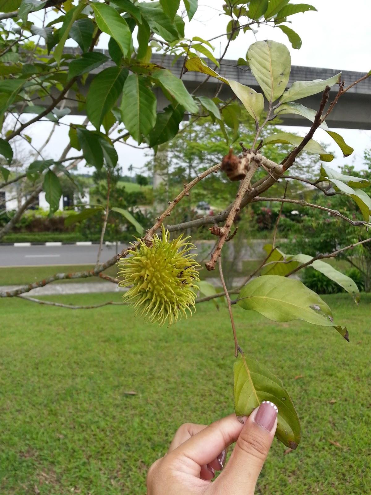 Riverine Parks: Rambutan (Nephelium lappaceum)