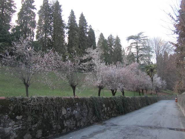 Strada con Prunus in Fiore