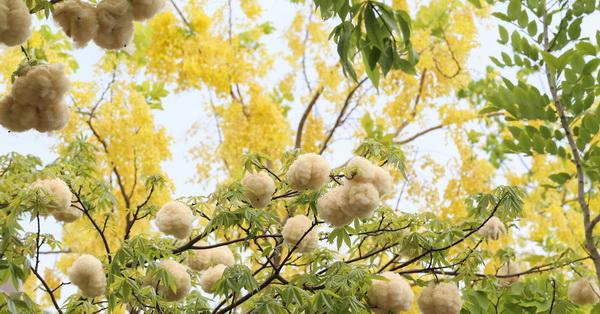 《台中.南屯》新富路自行車道|阿勃勒與美人樹上棉花的相遇