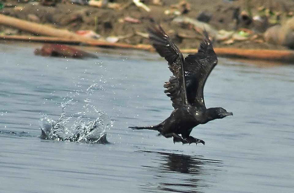 burung pecuk hitam terbang