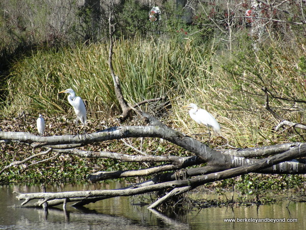 egrets spotted on Cajun Pride Swamp Tour in LaPlace, Louisiana