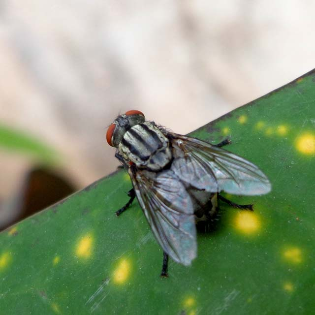 housefly Musca domestica leaf