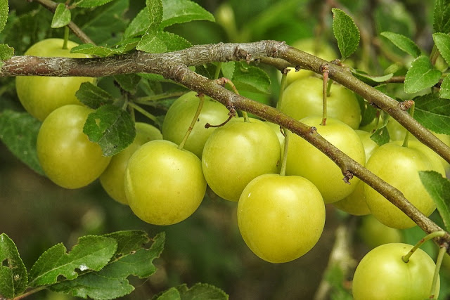 mirabelle-plum-tree-greengage.jpg