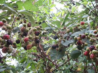 Blackberry bush with blackberries - some ripe and some growing