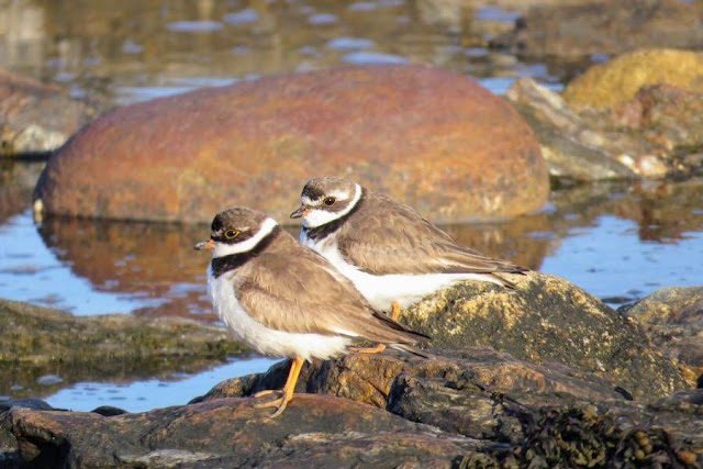 Maine Getaway: plovers at Potts Point