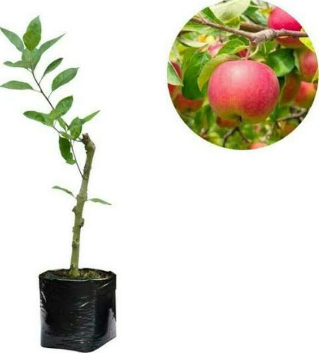 Buruan Borong! bibit apel anna Kota Bekasi #bibit