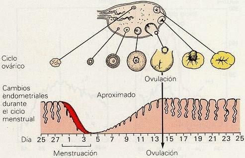 Calendario de ovulacion metodo ogino