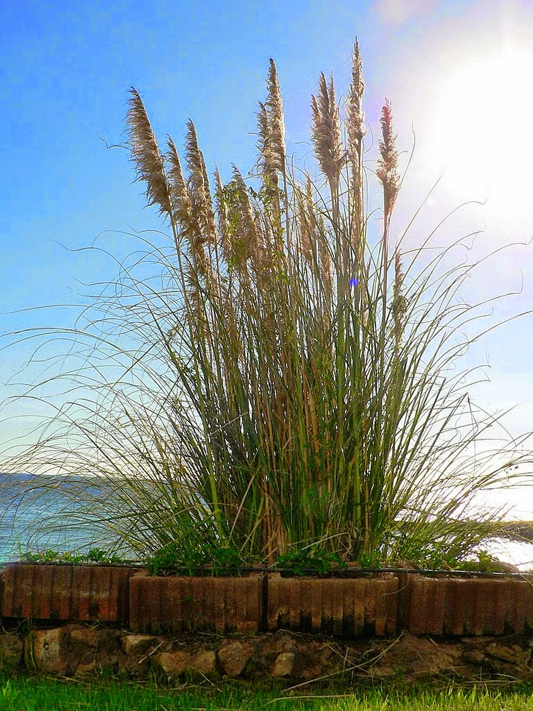 Yard and garden secrets ornamental grass garden ideas for Giant ornamental grass