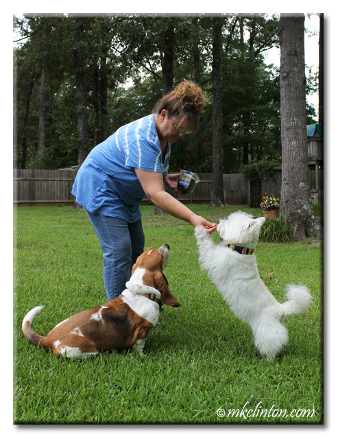Woman feeding an Evanger's Beef Lung to a Westie standing on his hind legs. Basset looking on