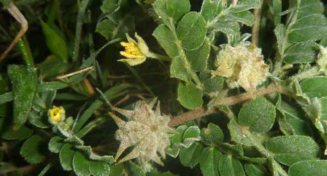 Tribulus terrestris, நெருஞ்சி முள்(Nerenji Mull)