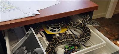 Video: Karyawan ini terkejut ketika menemukan ular besar yang bersembunyi di laci mejanya