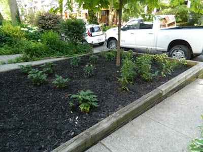 Leslieville Toronto Front Yard Summer Cleanup After by Paul Jung Gardening Services--a Toronto Organic Gardening Company