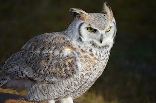 البومة الثلجية  Snowy Owl