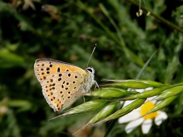 Lycaaena bleusei, reverso alar