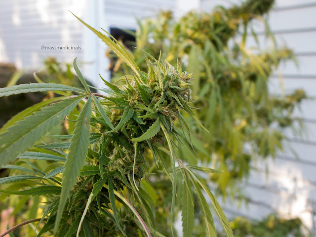 how to get bigger buds outdoor during flowering
