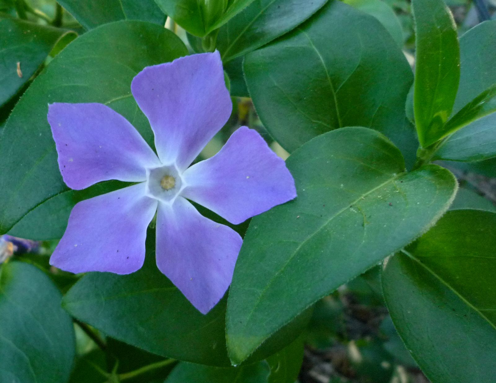 good witches magickal flowers and herbs vinca