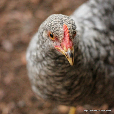 eight acres: guest post - Five more reasons to keep chickens, aside from eggs