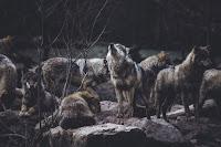 Wolf Pack - Photo by Thomas Bonometti on Unspla