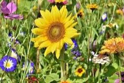 Gambar Bunga Matahari Dan Cara Menggambar Bunga Matahari Sketsa