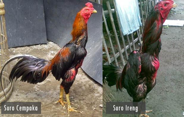 Ayam Suro Cempaka dan Suro Ireng