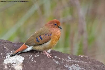 Rolinha-do-planalto, Blue-eyed Ground-Dove, Columbina cyanopis, rolinha-brasileira, pombinha-olho-azul, rolinha-do-planalto redescoberta na natureza, aves extinta, aves brasileiras em extinção, fotos rolinha-do-planalto, imagens rolinha do planalto, natureza, conservação, avistar, avistar 2016, Rafael Bessa, birding, birds, birdwatching, re-discovery of the Blue-eyed Ground-Dove, photography Blue-eyed Ground-Dove