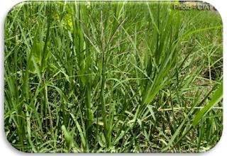 Rumput Afrika / Cynodon plectostachyus.