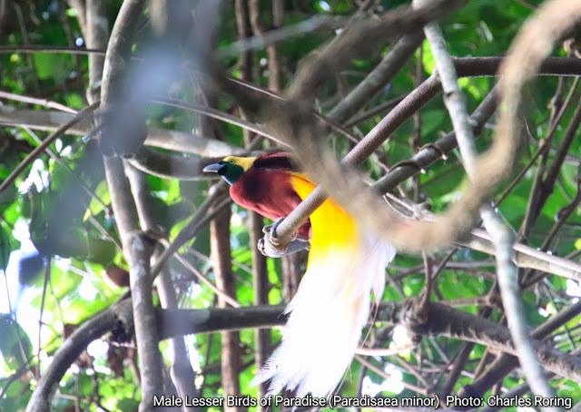 Wisata pengamatan burung Cendrawasih kuning