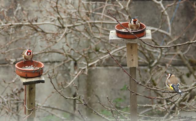 Chardonnerets mangeant des graines de tournesol