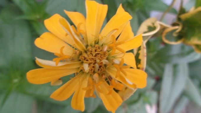 Bunga Kuning Keemasan Mekar