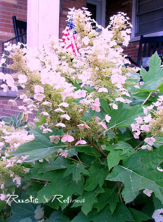 Hydrangea - oakleaf variety