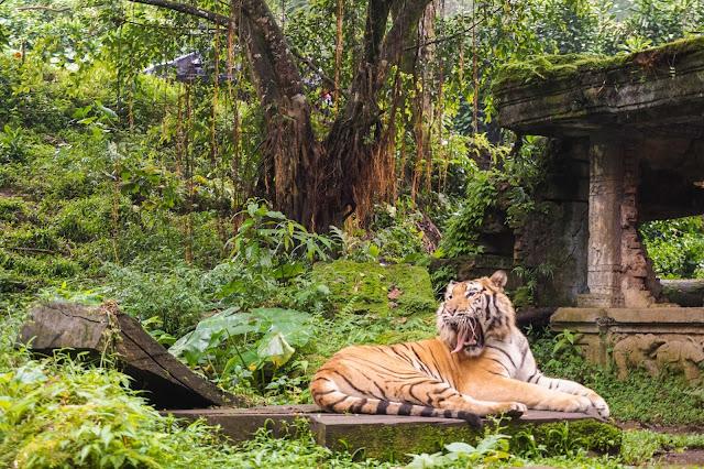Lihat Panda di Taman Safari