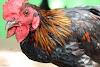 Royalty Free Indian Chicken Images -இந்தியா கோழி இனங்கள்