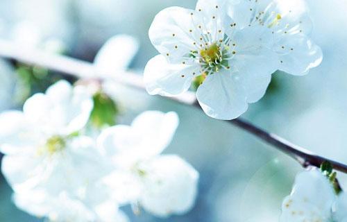 Contoh Report Text Bunga Sakura Informasi Seputar Tanaman Hias