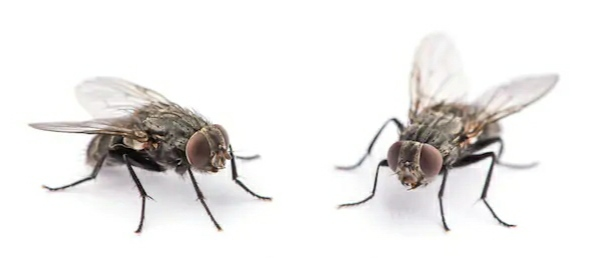 Fly sickness