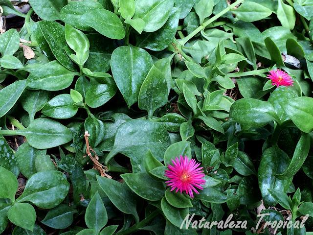 Vista de la planta Rocío, Aptenia cordifolia