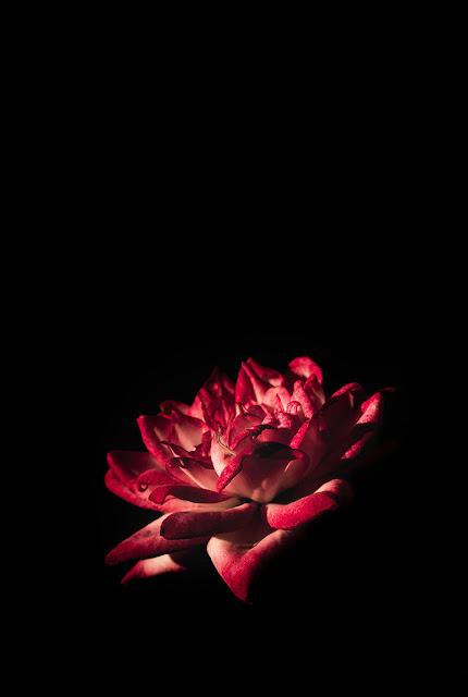 تحميل صور خلفيات جوال ورد احمر بجودة عالية hd