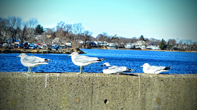 Seagulls, Wall, Salem, Massachusetts gulls, herring gulls, mbta, commuter rail, station