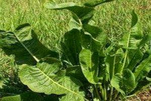 хрен, многолетнее травянистое растение семейства капустные.