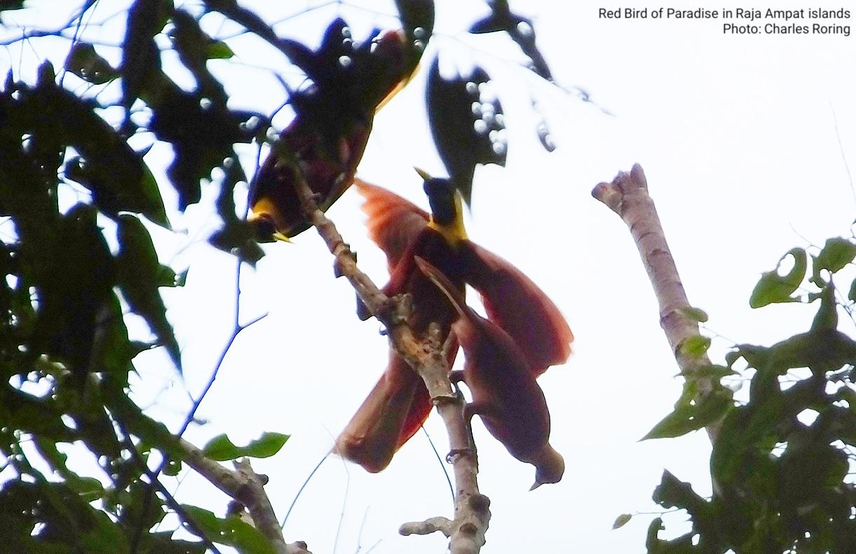 Birdwatching Tours: Birds of Paradise Watching Trip