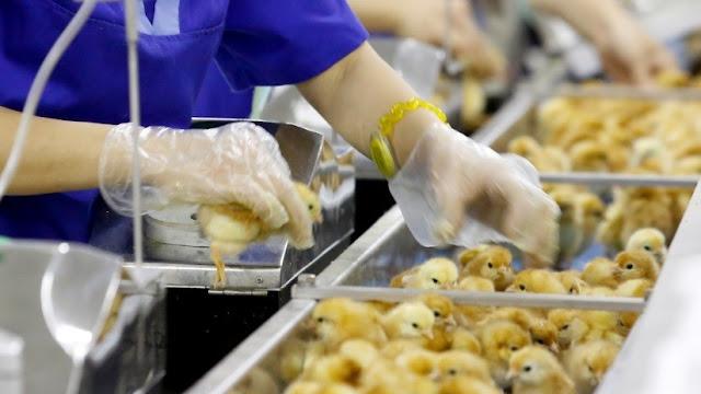 Huevos producidos por método que excluye la matanza de pollos salen a la venta