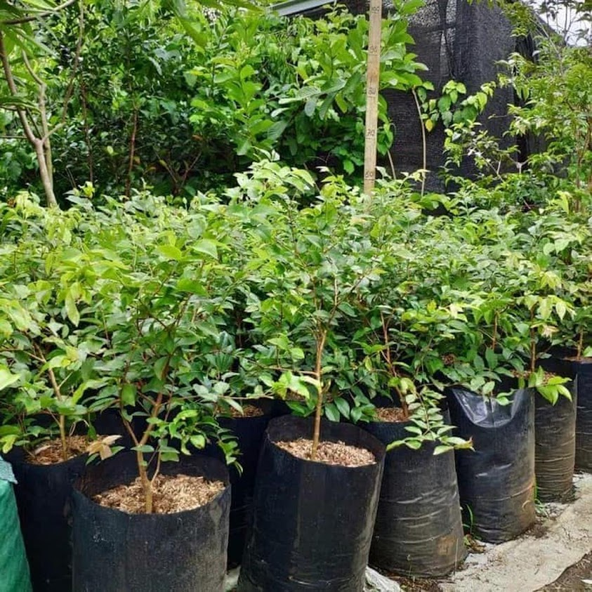 Tanaman Anggur Sabhara Bibit Anggur Pohon JABOTICABA Anggur Brazil Anggur Pohon Jawa Timur