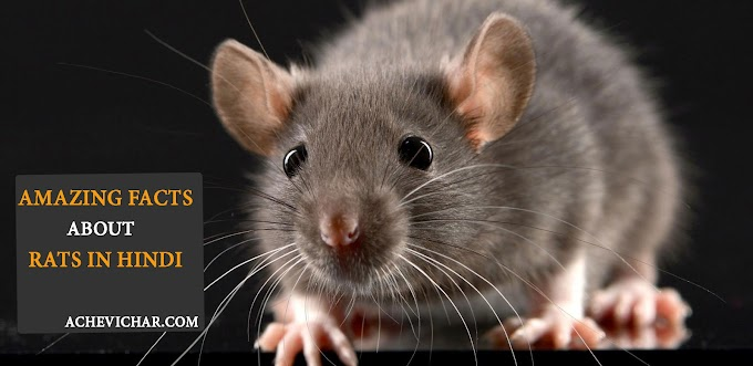 चूहे के बारे में रोचक जानकारी - Facts About Rat In Hindi