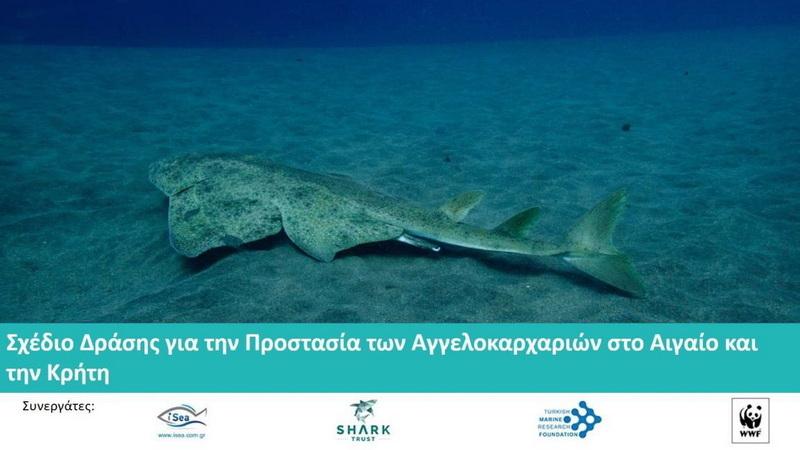 Σχέδιο Δράσης για την Προστασία των Αγγελοκαρχαριών στο Αιγαίο και την Κρήτη