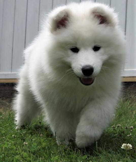 koiranpentu, valkoinen koira, lelukoira