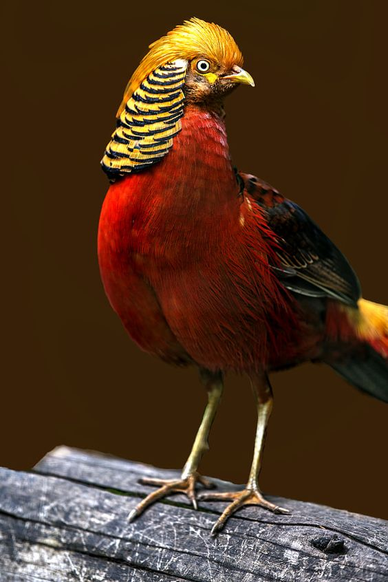 Golden Pheasant (Chrysolophus pictus)   Our World's 10 Beautiful and Colorful Birds