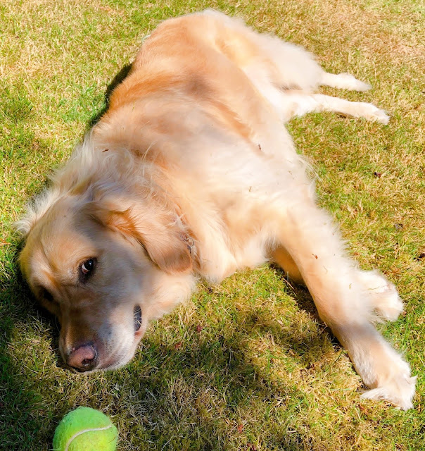 Golden retriever lying on the grass and staring at a tennis ball
