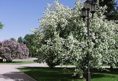 Цветёт сирень и яблоня